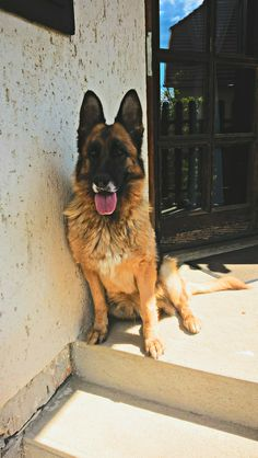 German Shepherd. Hungary.