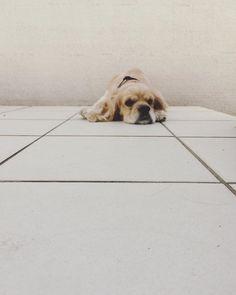 ・ おはようございます☺︎ ・ ・ ・ #americancockerspaniel #americancocker #dog #dogstagram #instadog #lifestyle #アメリカンコッカースパニエル #アメリカンコッカー #アメコカ #ライフスタイル #マイホーム #犬 #犬のいる暮らし #愛犬