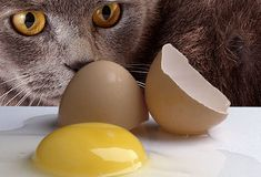 Raw Eggs.    There are two problems with giving your cat raw eggs. The first is the possibility of food poisoning from bacteria like salmonella or E. coli. The second is that a protein in raw egg whites, called avidin, interferes with the absorption of the B vitamin biotin. This can cause skin problems as well as problems with your cat's coat.