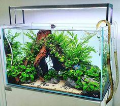 Tropical Fish Aquarium, Tropical Fish Tanks, Live Aquarium Plants, Betta Fish Tank, Aquarium Fish Tank, Planted Aquarium, Aquarium Aquascape, Planted Betta Tank, Nature Aquarium