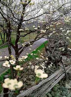 "♦♦ ""Southerners speak music...."" Mark Twain ♦♦      Common southern scene with dogwood tree and fence"