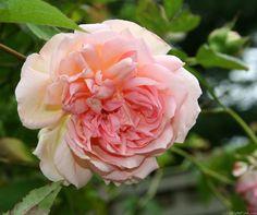 'Souvenir de Madame Léonie Viennot' Rose
