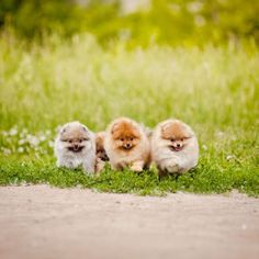 Three small Pomeranian puppies walking in the green grass Posted by : @friendlypomeranian Follow me to see more nice picture Thank you so much ☝️☝️ Tag someone who you'd want to share this photo with Beautiful All about Pomeranian Dogs for dog lovers. @friendlypomeranian ⤵ Double tap & tag your friend Love it ❤❤❤ ❤❤❤ ❤❤❤ #Pom #baby #pomeranianspitz #pomstagram #pomeranianlife #pomeranianlovers