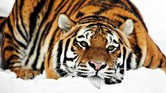Tiger - wallpaper HD (1920x1080) - animaux - Biographies dartistes et de peintres célèbres, analyses doeuvres, mouvements artistiques pour votre brevet de lhistoire de lart. Peintures et photographies de Mik-Art