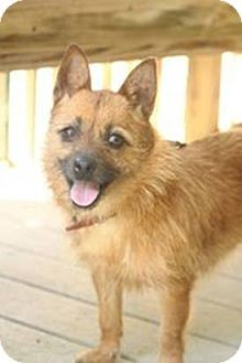 """""""Toto"""" is a female Cairn Terrier Mix -Brown/Chocolate With Tan, Young Small 25 lbs (11 kg) or less. She's already spayed, housetrained, up to date with shots, good with kids, not good with dogs, and not good with cats. Toto's Story...Toto is an absolute doll. She loves people & simply wants companionship. Toto was rescued from a high kill animal shelter down south. She would make an adorable addition to a loving family. She prefers to be the only dog in the house. Beacon, NY"""