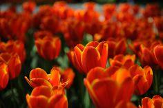 Japão tulip Series (last)