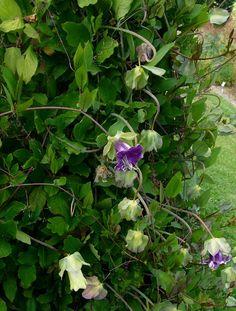 Glockenrebe (Cobaea scandens)