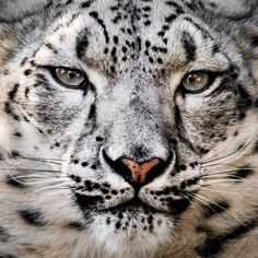 Snow Leopard by © Abeselom Zerit