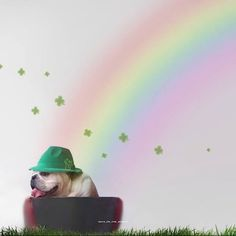HAPPY ST PATRICKS DAY  at the end of the rainbow we found @maya_on_the_move  #happypaddysday #happystpatricksday #paddysday #irish #potofgold #ireland #gold #luckycharm #lucy #lepricon #smalldog #cutedogs #smalldog #rainbow #rainbowbridge #colour #hintofpink #softpink #instadog #dogscorner #dogsofinstagram #magic #dogphotography #dogscorner #excellent_puppies #smile #happydog #happythursday #tbt #bulldog #bulldogsofinstagram  by tailsofchiswick  http://bit.ly/teacupdogshq