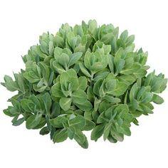 cutout plants: sedum spectabile