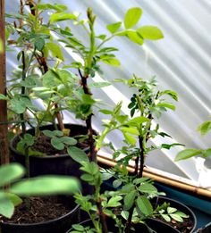 Learn how to grow your own roses from cuttings.
