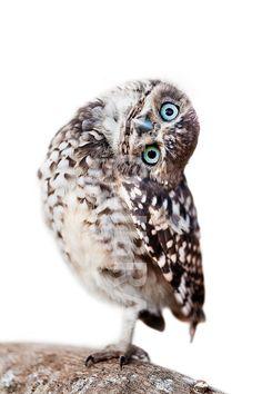 Burrowing Owl Pinned by www.myowlbarn.com