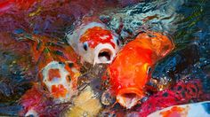 koi fish | ... in Herndon, Va. stole over 400 koi fish from a pond in June 2013