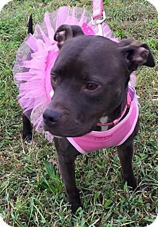 EARTHA • Adult • American Staffordshire Terrier Mix • Female • I am sweet and petite! I am very happy, and I love to make new friends! I am pretty smart, and I like to play. I am also very good at eating snacks and taking naps. Do you have snacks to share with me? • Pittie In Pink • Nashville, TN • ADOPTED • ℹ️For More Pics, Videos & Info: http://www.adoptapet.com/pet/12482026-nashville-tennessee-american-staffordshire-terrier-mix