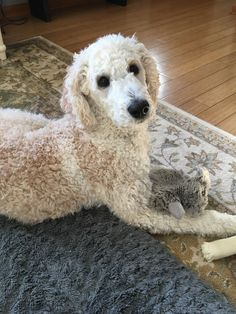 Loving our cream colored standard poodle