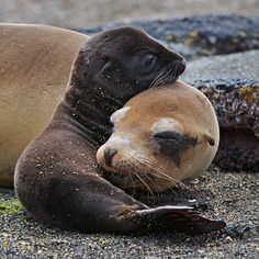 mom and baby seal