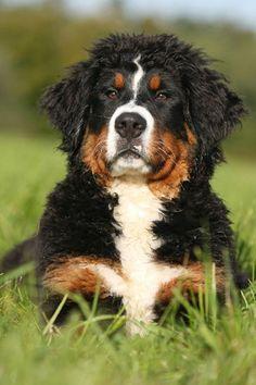 Burnese Mountain Dog.