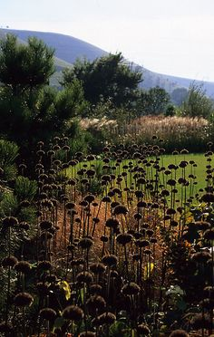 Phlomis seed heads in Winter - don;t be too quick to trim perennial seeds heads back !  ( Acres Wild)