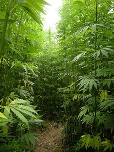 I could live there ;)  ( marijuana cannabis )