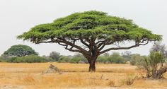 Perfect acacia tree in africa with anthill by marjorie speiser - nature up close trees & Acacia, Bonsai, Landscape Design, Garden Design, African Tree, Umbrella Tree, Vides, African Animals, Art Graphique