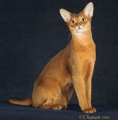 34 best beautiful abyssinian cats ️ images  cats kittens