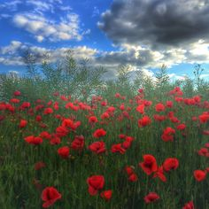 Poppy Wildflowers Red Sky