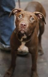 Rio is an adoptable Labrador Retriever Dog in Chicago, IL. Meet adorable Rio! Rio is a 5 month old lab/pit mix who is a deep, pretty chocolate color with green eyes...she is gorgeous! Rio loves other ...