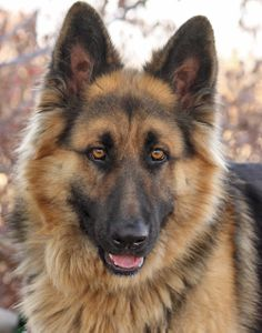 Long Haired Shepherd Rescue | ... long haired german shepherd no livestock please his adoption fee is $