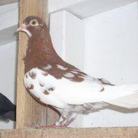 Photo by Ashley Abernathy Cute Pigeon, Pigeon Breeds, Loft Design, Birmingham, Birds, Animals, Animales, Animaux, Bird