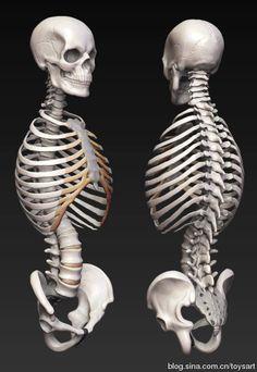 3d Anatomy, Human Body Anatomy, Anatomy Poses, Muscle Anatomy, Anatomy Study, Anatomy Drawing, Croquis Drawing, Body Drawing, Figure Drawing