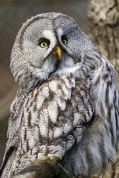 Great Grey Owl photos