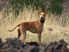 Cirneco de l'Etna - Lévrier sicilien - L'avis du vétérinaire - Choisir son chien The wonderful cirneco of Marianna
