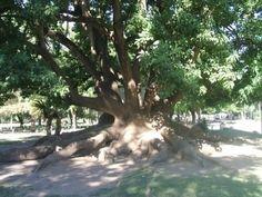 Ombu ou Umbó - Jardim Exótico - O maior portal de mudas do Brasil.