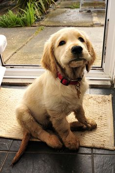golden retriever puppy- that little face
