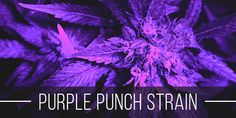 Purple Punch strain produces blueberry-grape flavored buds that hit fast and hard, leaving your head and body feeling an immediate floaty high. Grape Kool Aid, People With Ocd, Purple Punch, Weed Strains, Social Environment, Medical Marijuana, How To Relieve Stress, How To Fall Asleep, Chill