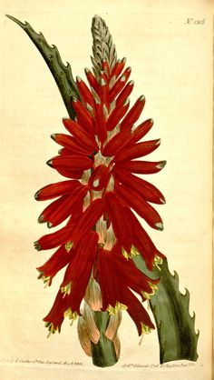 8296 Aloe arborescens Miller / Curtis's Botanical Magazine, vol. 1306 [S. Family Illustration, Plant Illustration, Botanical Illustration, Plant Painting, Plant Drawing, Botanical Flowers, Botanical Prints, Flower Prints, Flower Art