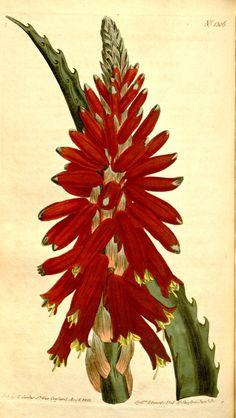 Aloe arborescens. v.31-32 (1810) - Curtis's botanical magazine. - Biodiversity Heritage Library