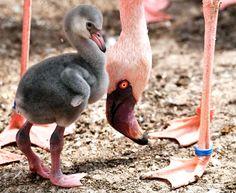 Un bébé flamant d'une semaine traîne entre les pattes de ses parents, au zoo de Karlsruhe, en Allemagne.