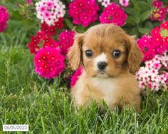 Cavalier King Charles Spaniel Puppy my heart just melted I must have one! King Charles Puppy, King Charles Spaniel, Cavalier King Charles, Spaniel Puppies For Sale, Cute Puppies, Cute Dogs, Animals And Pets, Baby Animals, Cute Animals