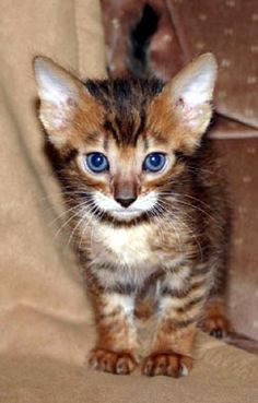 toygers cats   Available Toyger Kittens/Catsof Wildwestbengal