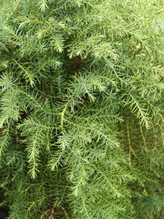 Cryptomeria Japonica Elegans changes to bronze in the winter Landscaping, Herbs, Bronze, Fall, Winter, Garden, Plants, Image, Autumn