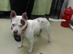 SAFE!!!03/20/15 - HOUSTON - TIME'S UP - RESCUE ONLY - MIRACLE NEEDED - This DOG - ID#A427655 I am a female, white and brown Bull Terrier mix. My age is unknown. I have been at the shelter since Mar 12, 2015.