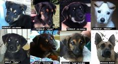 New Orleans animal rescuer saves starving mother German Sheppard mom and her 7 puppies
