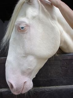 Beautiful white not albino horse. NO horses are albino. Albino means the animal has no pigment. A white horse does have pigment. Just hate it when people call a white horse albino.