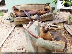 Seal Loungeroom Photo and caption by Ryan Essex / National Geographic Traveler Photo Contest --- Seal Loungeroom, taken on Isabella, Galapagos. Animal Pictures, Cool Pictures, Cool Photos, Crazy Photos, Funny Pictures, National Geographic Photo Contest, Funny Animals, Cute Animals, Party Animals
