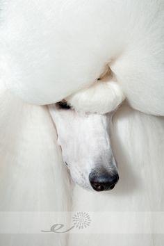 Standard Poodle « Ebonie K Photography