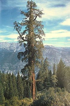 The Boole Tree, a giant sequoia, the sixth largest tree in the world