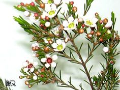 Chamelaucium uncinatum, Darwinia uncinata, Geraldton Waxflower