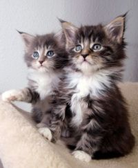 maine coon kittens...i want another one so bad!
