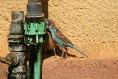 cordon bleu de Ouaga Dougou. Oiseaux et Compagnie !